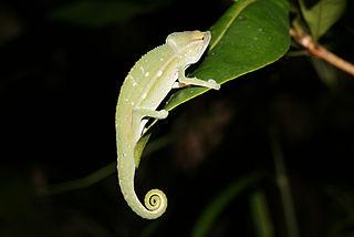 Chamaeleoninae Subfamily of lizards