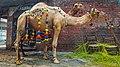 Camel 20180816175536 12.jpg