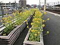 Canola flowers on platform of Kashii Station.jpg