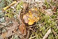 Cantharellus cibarius 02.JPG