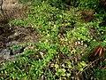 Capparis sandwichiana (4766541640).jpg