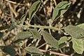 Capparis spinosa 03 04.jpg