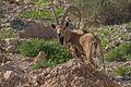 Capra nubiana, Israel 4.jpg