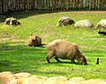 Capybara, Zoo Prague.jpg