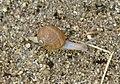 Caracol con los cuernos al sol 03 - little snail (286622676).jpg