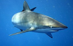 A slim, streamlined gray shark with a long snout, swimming in open water