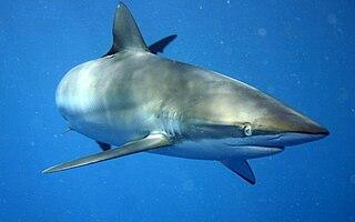 Silky shark Species of fish