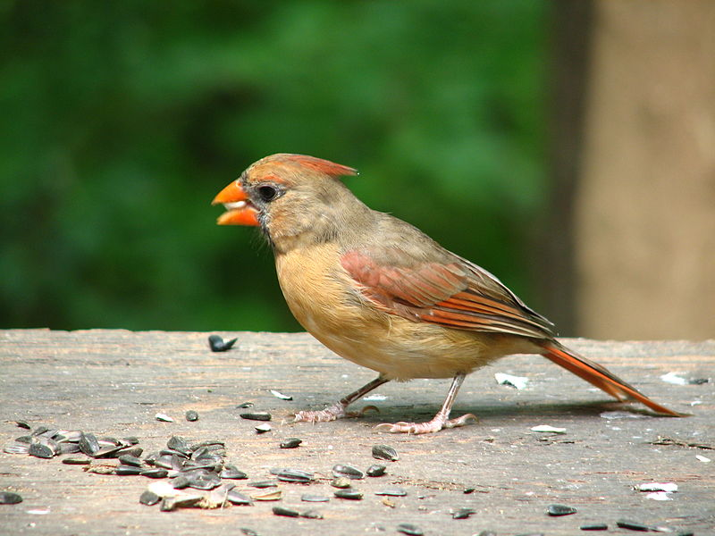 File:Cardinal female 1.JPG