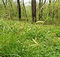 Carex cherokeensis.jpg