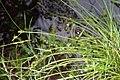 Carex demissa inflorescens (22).jpg
