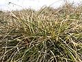 Carex humilis sl5.jpg