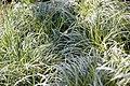 Carex morrowii Silver Sceptre 3zz.jpg
