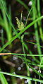 Carex nigra 01.jpg