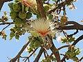 Careya Arborea020.jpg