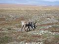 Caribou (9511344635).jpg
