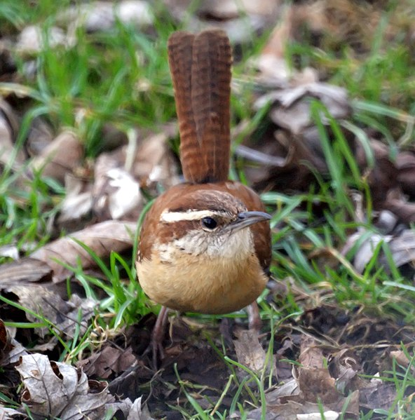 File:Carolina Wren (4463577775).jpg