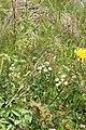 Carum caucasicum 48661580.jpg