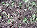 Caryophyllales - Portulaca grandiflora - 1.jpg