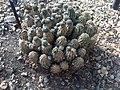 Caryophyllales - Rebutia pygmaea 1.jpg