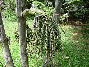 Caryota urens - Caryota urens unripe fruit.
