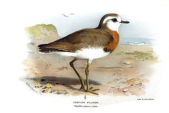Caspian Plover - Coloured figures of the birds of the British Islands - issued by Lord Lilford.jpg
