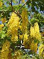 Cassia fistula flowers by Dr. Raju Kasambe DSCN4427 08.jpg