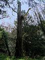 Castanyer d'India Masjoan - Espinelves 20070316 CIC 1487.JPG