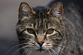 Cat face 01.jpg