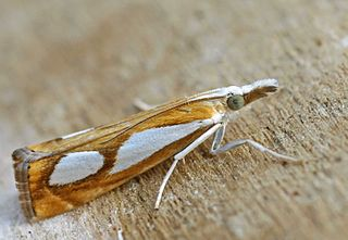 <i>Catoptria</i> Genus of moths