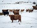 Cattle DSC02069.jpg