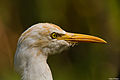Cattle Egret Closeup.jpg