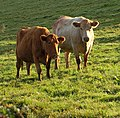 Cattle by Orestone Lane - geograph.org.uk - 1016068.jpg