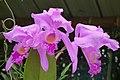 Cattleya trianae (14804442305).jpg