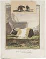 Cavia cobaya - 1700-1880 - Print - Iconographia Zoologica - Special Collections University of Amsterdam - UBA01 IZ20600059.tif