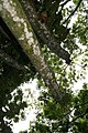 Cecropia obtusifolia 46zz.jpg