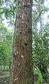 Cedralinga cateniformis (14506774449).jpg