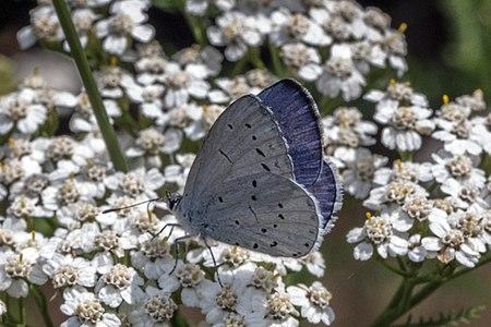 Celastrina argiolus02(js), Lodz(Poland).jpeg
