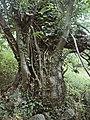 Celtis australis 20100803a.jpg