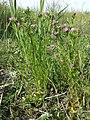 Centaurium littorale (subsp. uliginosum) sl18.jpg