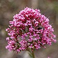 Centranthus ruber -Valériane rouge-Inflorescence isolé-20190518.jpg