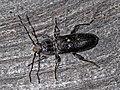 Cerambycidae - Hylotrupes bajulus (male).JPG