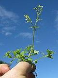 Cerastium glomeratum plant5 (12095096533).jpg