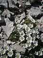 Cerastium latifolium RHu 01.JPG
