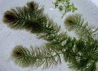 CeratophyllumSubmersum