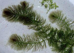 Ceratophyllum - Ceratophyllum submersum
