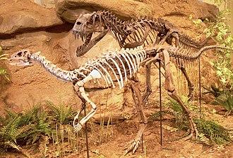 Dryosaurus - D. altus skeleton (front) with Ceratosaurus.