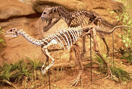Mounted skeletons of Ceratosaurus and the plant-eating Dryosaurus at the Carnegie Museum of Natural History