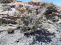 Cercocarpus ledifolius (5063224026).jpg