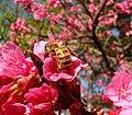 Cerejeirabee.jpg