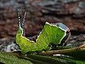 Cerura vinula (larva) - Puss moth (caterpillar) - Большая гарпия (гусеница) (29116715158).jpg